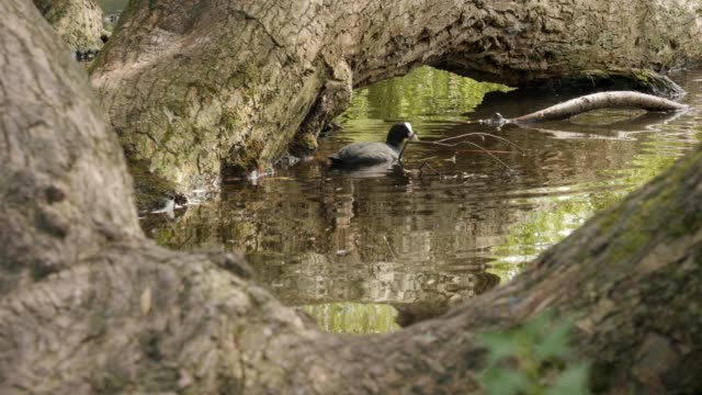 coot swimming and eating in a pond near a fallen tree - vondelpark stock videos and b-roll footage