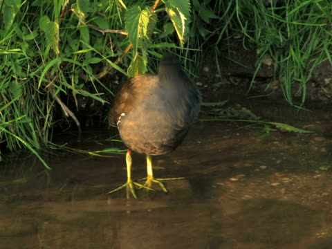 ntsc: coot - named wilderness area stock videos & royalty-free footage