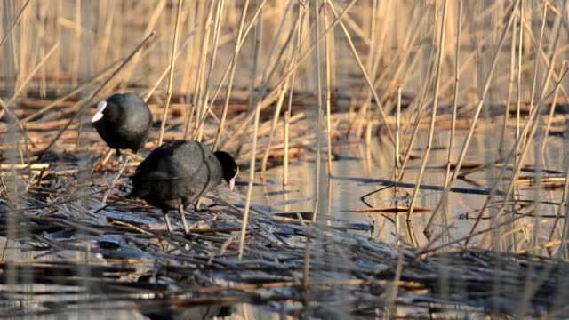 coot (fulica atra) - reed grass family stock videos and b-roll footage