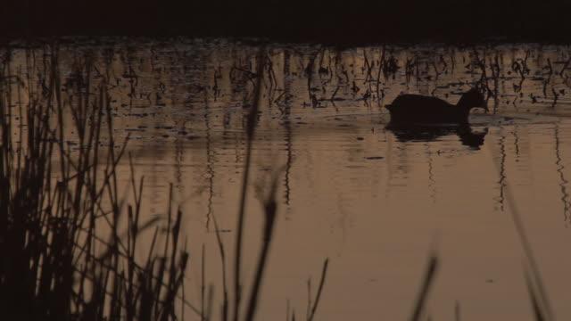 stockvideo's en b-roll-footage met l/s coot, waterfowl in a wetland at sunset - koet
