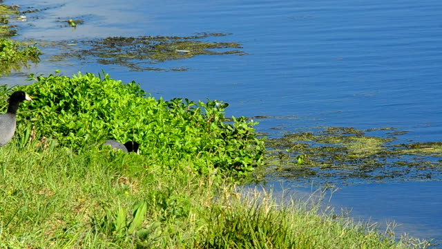 stockvideo's en b-roll-footage met meerkoeten het invoeren van water voorzichtig, bang om alligator voedsel - koet