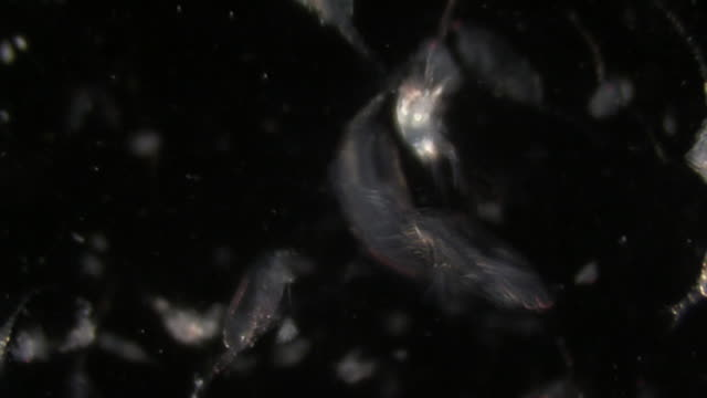 copepods with nautilus larvae - magnification stock videos & royalty-free footage