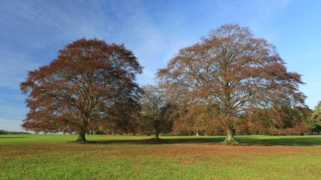 copper beech trees, (fagus sylvatica), rockingham forest near the village of deene, northamptonshire, england, uk - beech tree stock videos and b-roll footage