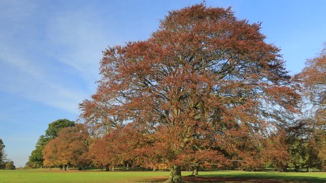 copper beech trees, (fagus sylvatica), rockingham forest near the village of deene, northamptonshire, england, uk - northamptonshire stock videos & royalty-free footage