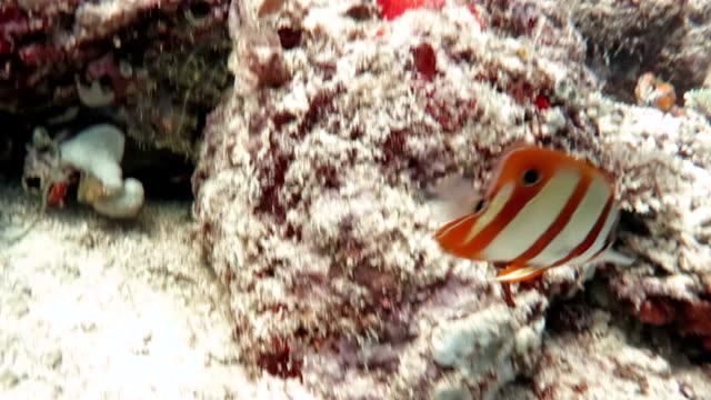 vídeos de stock, filmes e b-roll de peixe borboleta copperband - ponto de vista de mergulhador