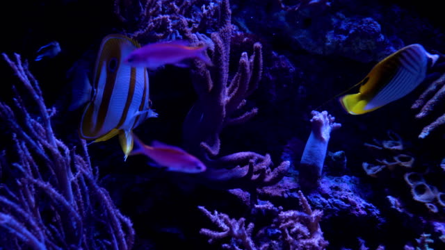 copperband butterflyfish live with flexible leather coral under deepsea - large group of animals stock videos and b-roll footage