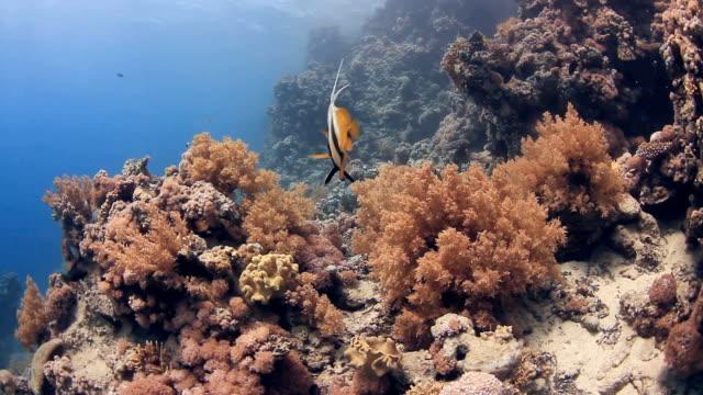 Coral And Bat Fish