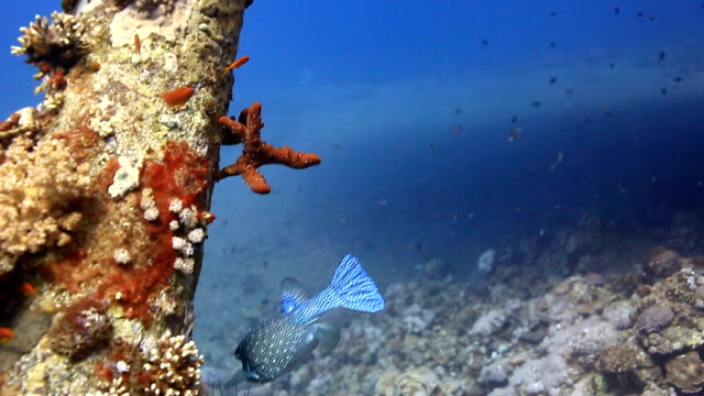 coral and fish - balloonfish stock videos and b-roll footage