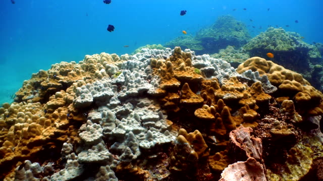 Coral Bleaching (Phylum Cnidaria) (Anthozoa) Environmental Damage due to Global Warming.  Ko Haa, Andaman Sea, Krabi, Thailand.