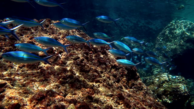 Coral Bleaching (phylum Cnidaria) Global Warming Phi Phi Tropical Rainbow Runner Fish