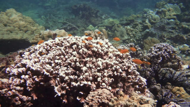 coral bleaching on coral reef due to climate change - coral cnidarian stock videos & royalty-free footage