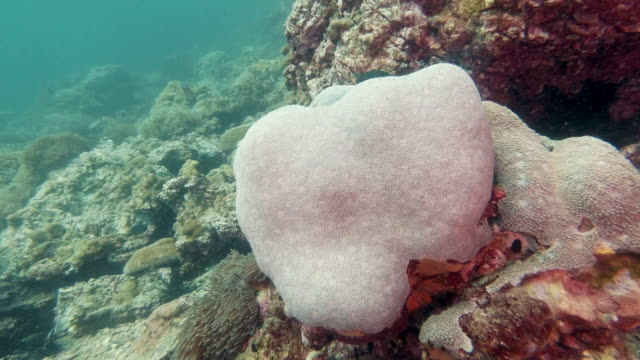 coral bleaching on underwater sunflower coral (alveopora spongiosa) reef - ocean acidification stock videos & royalty-free footage