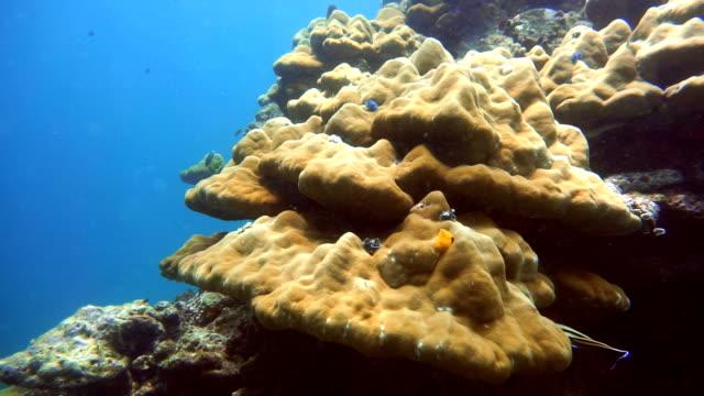 coral bommie bleaching (phylum cnidaria) (anthozoa) environmental damage due to global warming. ko haa, andaman sea, krabi, thailand. - distressed video stock e b–roll