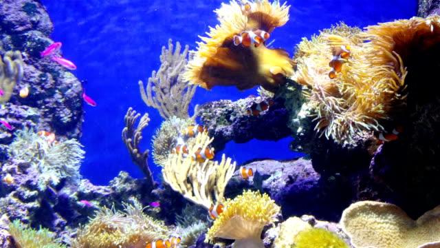 Colonie de corail sur un récif corallien