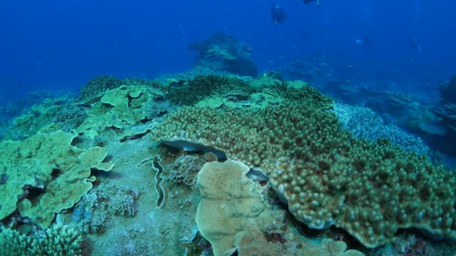 珊瑚のコロニーは海底、日本 - ソフトコーラル点の映像素材/bロール