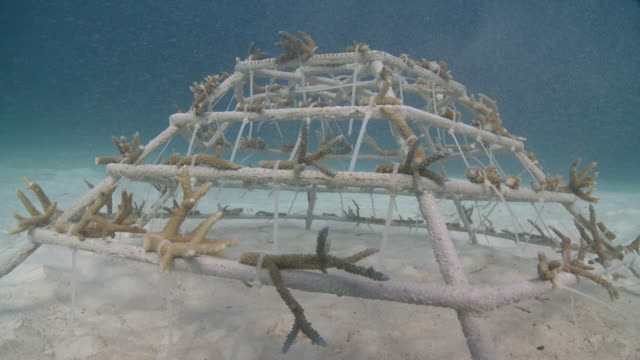 coral fragments attached to an artificial reef structure, kuda huraa, north male atoll, the maldives - coral cnidarian stock videos & royalty-free footage
