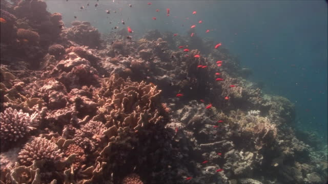 MS Coral goldfish (Pseudanthias squamipinnis) and Chromis (Chromis dimidiata) around corals in Red Sea / Sharm-el-Sheikh, Egypt