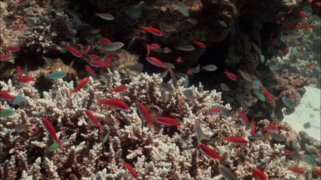 MS ZO WS Coral goldfish (Pseudanthias squamipinnis) and Green Chromis (Chromis viridis) over corals in Red Sea / Sharm-el-Sheikh, Egypt