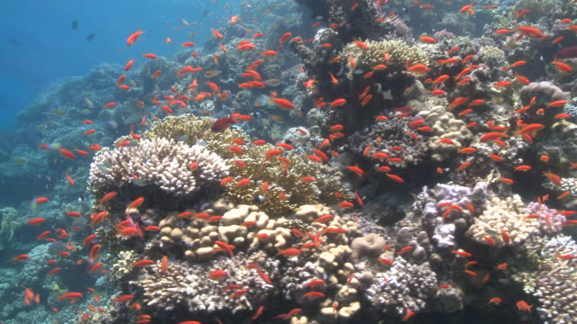 Coral goldfish (Anthias squamipinnis) around reef head