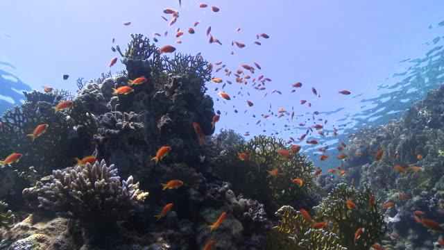 coral goldfish (anthias squamipinnis)  - fischschwarm stock-videos und b-roll-filmmaterial
