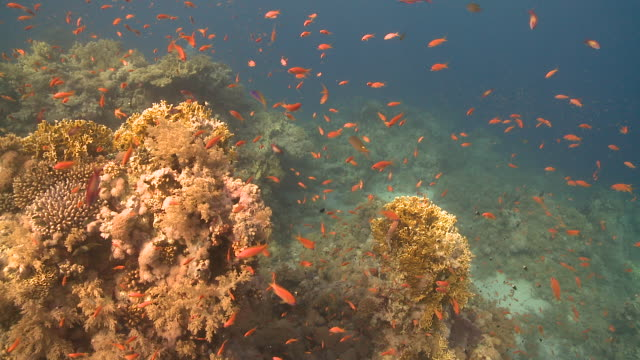 Coral goldfish/Anthias (Pseudanthias squamipinnis) around coral outcrop, Antarctica