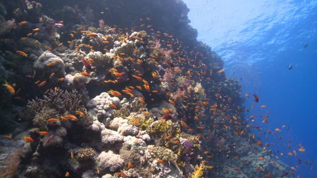 coral goldfish/anthias (pseudanthias squamipinnis) around coral outcrop, antarctica - fischschwarm stock-videos und b-roll-filmmaterial