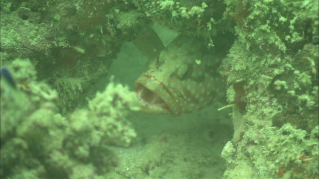 coral grouper having mouth cleaned by cleaner shrimp, kapalai, sipadan, borneo - grouper stock videos & royalty-free footage