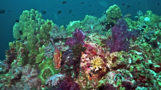 Coral Grouper (Cephalopholis miniata) on vibrant coral reef, Hin Muang, Thailand