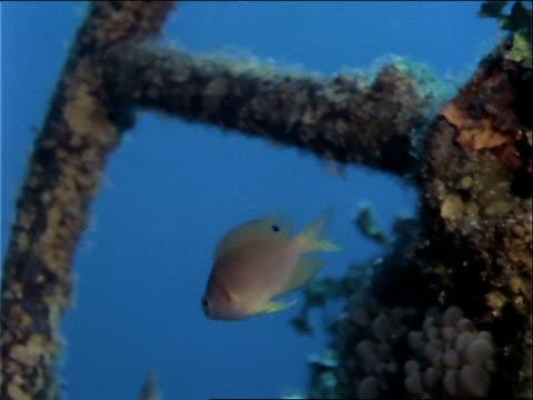 stockvideo's en b-roll-footage met coral grows on debris from a world war ii shipwreck. - ongewerveld dier