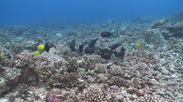 ms coral reef and fish / hawaii, united states - aquatic organism stock videos & royalty-free footage