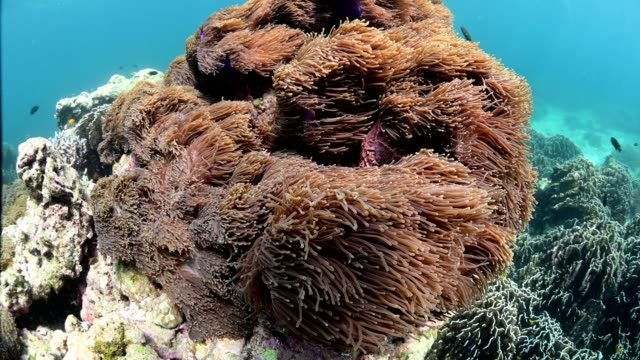 coral reef at boulder island in andaman sea near ranong thailand, myanmar. - seeanemone stock-videos und b-roll-filmmaterial