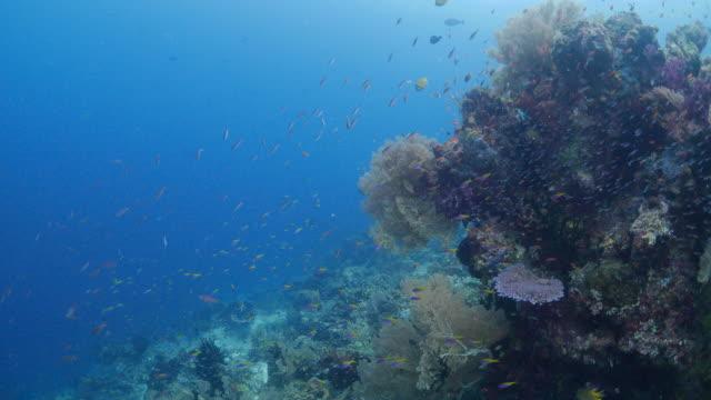coral reef, butterflyfish, fusilier fish, anthias fish - anthias fish stock videos & royalty-free footage
