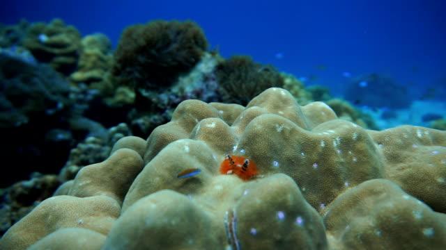 vídeos y material grabado en eventos de stock de arrecife de coral mar de ecosistema frágil medio ambiente.  koh haa, krabi, tailandia. - mar de andamán