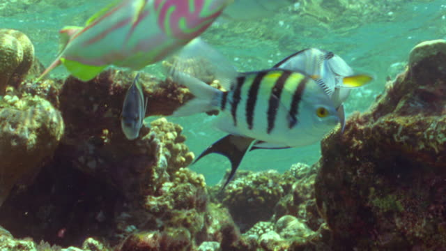 ms coral reef in shallow water with orange anthias fish, striped sergeant major fish and blue trigger fish / egypt - anthias fish stock videos & royalty-free footage