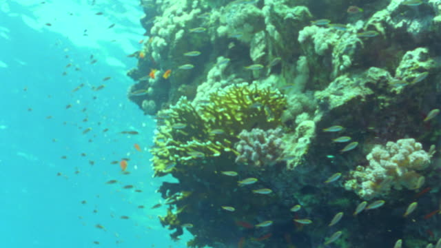 ms coral reef in shallow water with shoals of orange anthias fish / egypt - anthias fish stock videos & royalty-free footage