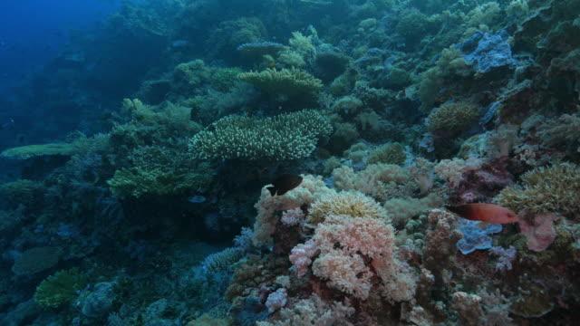 Recife de Coral, mar vida, Filipinas, Coral triângulo