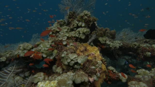 コーラルリーフ、インドネシア、バリ島、tulamben (4k - ソフトコーラル点の映像素材/bロール