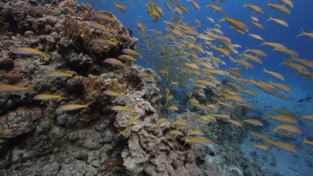 corallina reef - triglia tropicale video stock e b–roll