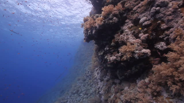 coral reef - trumpet fish stock videos & royalty-free footage
