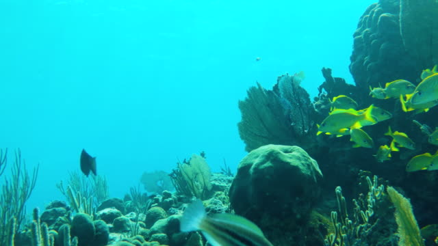 coral reef with a group of grunts - grunt fish stock videos and b-roll footage