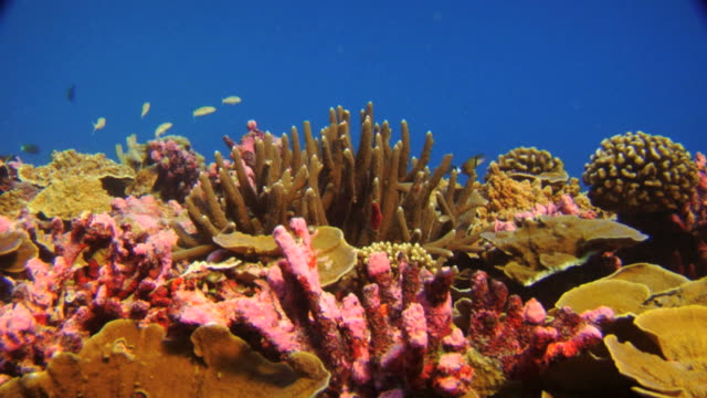 / coral reef with bright red coralline algae and brown staghorn and plate coral - reef stock videos & royalty-free footage