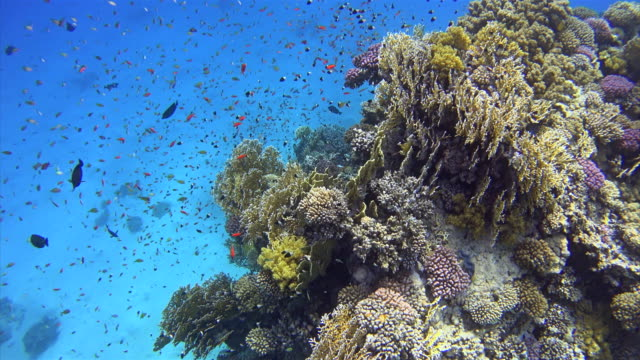 Coral reef with lot of colorful small fisch on Red Sea