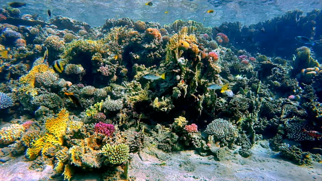 Coral reef with lot of fisch on Red Sea / Marsa Alam