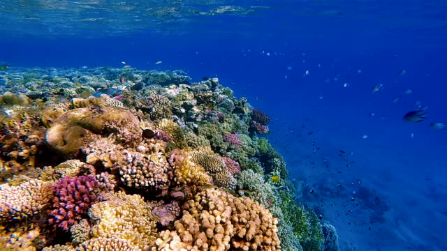 Coral reef with lot of Fish / Red Sea / Marsa Alam