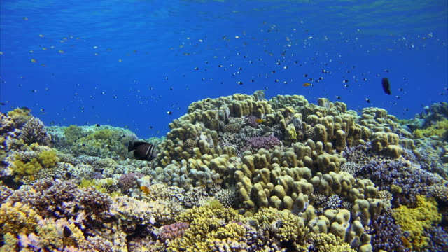 coral reef with lots of colorful fishes at red sea - red sea stock videos & royalty-free footage