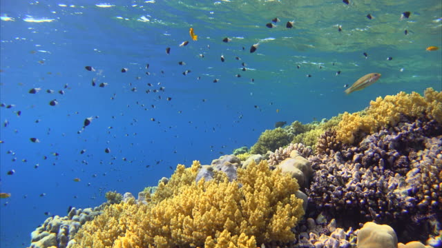 Coral reef with lots of colorful fishes at Red Sea