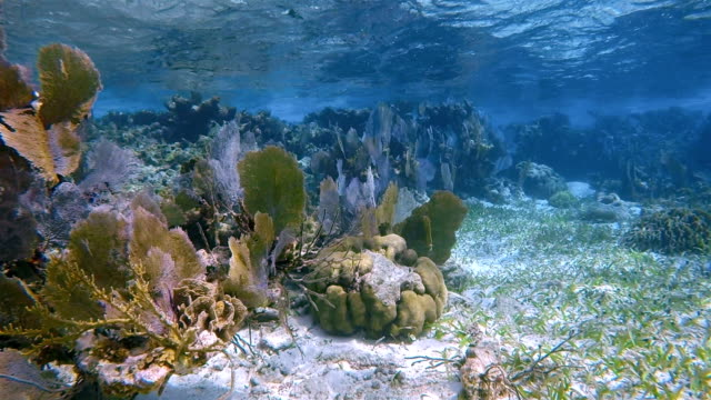 coral reef with many venus sea fan / purple gorgonian sea fan on hol chan marine reserve caribbean sea - belize barrier reef / ambergris caye - gorgonian coral stock videos & royalty-free footage