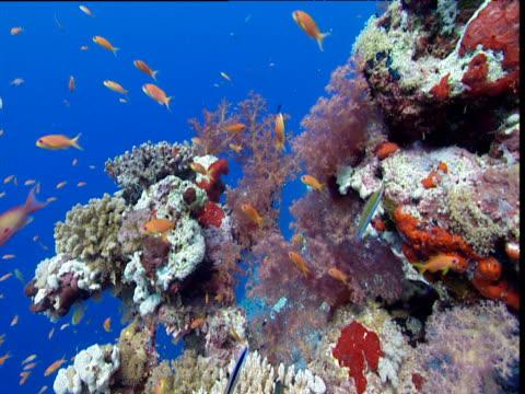 coral reef with scalefin anthias fish - anthias fish stock videos & royalty-free footage