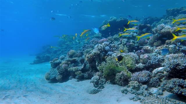 Korallenriff mit School of Schnapper am Roten Meer
