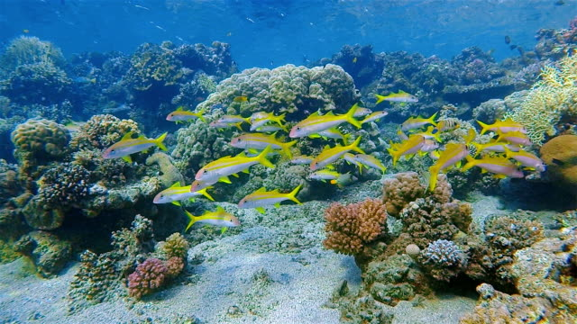 coral reef with school of yellow snapper fish on red sea - marsa alam / egypt - snapper fish stock videos & royalty-free footage